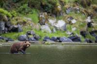 Brown Bear Wades Through A Stream Looking For Salm