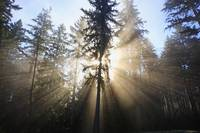 Sun Shining Through Morning Fog And Trees Happy V