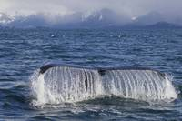 Humpback Whale Fluking, Prince William Sound, Sout