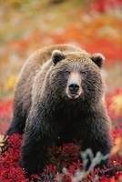 Grizzly Bear in Blueberry Patch Denali Natl Park A