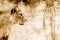 Lion In Front Of An Old Map Of Africa