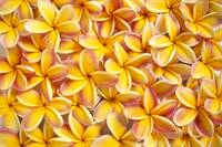 Close-Up Of A Bed Of Yellow Plumeria Flowers, Pink