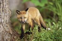 Young Red Fox Kit In Forest, Anchorage, Alaska