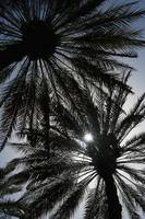 Silhouette Of Date Palm Trees In Oasis, Al Ain, Ab