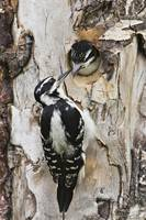 Juvenile Hairy Woodpecker Being Fed By The Adult I