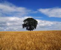 Ireland, Barley Field With Oak Tree