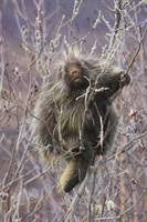 Porcupine Hangs On A Willow Tree Branch, Interior