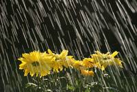 Rain On Yellow Daisies