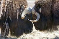 Two Bull Musk-Oxen Standing Face To Face, Southcen