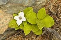 Close up of Dwarf Dogwood