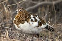 Willow Ptarmigan Female With Spring Plummage, Dena