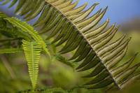Hawaii, Maui, Waihee, A Closeup Of Green Fern With