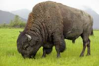 Wood Bison Bull Grazing On Grasses, Southcentral A