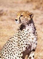 Cheetah In Maasai Mara Game Reserve