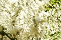 White Flower Blossoms, Blurred Abstract