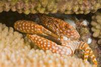 Yellow Spotted Guard Crab