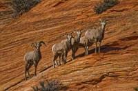 Bighorn Sheep, Zion National Park, Utah, USA
