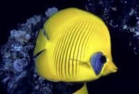 The Red Sea, Blue Cheeked Butterflyfish