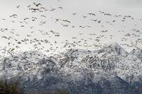 Large Flock Of Snow Geese Take Off From A Field, S