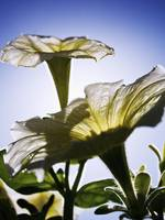 White Petunias, Sunlight Shining Through Blossoms