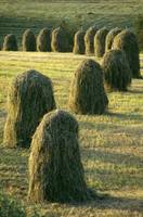 Hay Stacks Lined Up In Green Fields