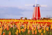 A Field Of Tulips And A Windmill At Wooden Shoe Tu
