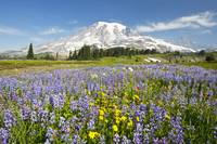 Wildflowers In Paradise Park, Mount Rainier Nation