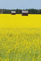 Alberta, Canada, Two Wooden Shacks In A Canola Fie