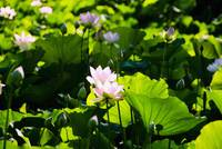 Pink Lotus Flowers Growing Among Leaves