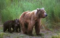 Grizzly Bear With Cubs
