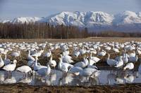Flock Of Snow Geese Drinking From A Pond In The Ma