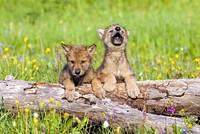 Wolf Cubs On Log