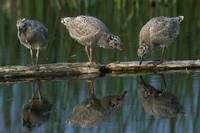 Adolescent Gull Chicks On Log Potter Marsh Sc Ak S