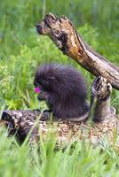 Porcupine Baby Eating Flower