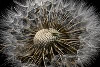 Macro view of a Dandilion flower gone to seed Alas