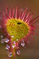 Sundew With Digested Food, British Columbia, Canad