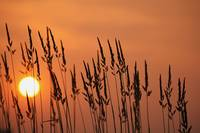 Tall Grass In A Sunset