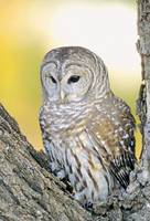 Barred Owl Roosting In Tree