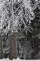 Hoar frost on deciduous and conifer trees at Russi