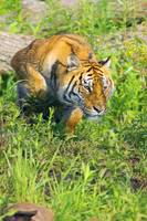 Bengal Tigress On The Prowl