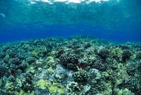 Hawaii, Reef Scene With Shallow Coral Garden