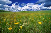 Field Of Flowers, Grasslands National Park, Saskat