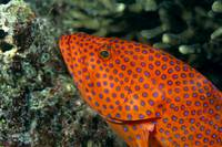 Fiji, Close-Up Of Coral Grouper