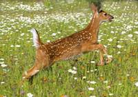 White Tailed Deer Fawn In Field Of Spring Flowers