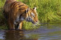 Tiger Standing In Water