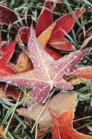 Fall Colored Leaves Covered In Frost