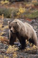 Adult Grizzly Walking On Fall Tundra, Denali Natio