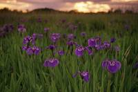 Wild Iris Blooms on Palmer Hayflats at Sunset SC A