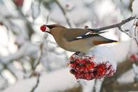 A Bohemian Waxwing feeding on Mountain Ash berries