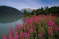 Fireweed Along Shore of Kenai Lake Summer KP Alask